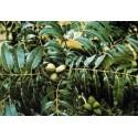 Pecano Pawnee Carya illinoinensis