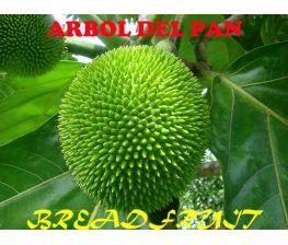 Árbol de Pan, Artocarpus Altidis