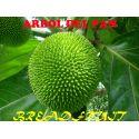 Breadfruit, Artocarpus Altilis
