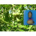 Pecan nut Lakota Carya illinoinensis