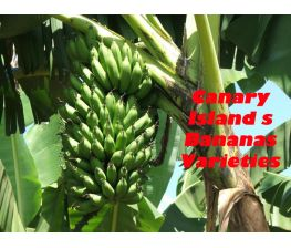 Platanos of the Canary Islands