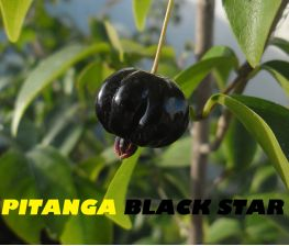 Pitanga negra Eugenia uniflora Black star
