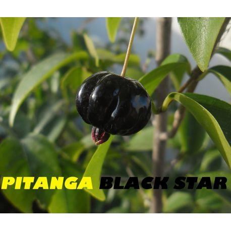 Pitanga negra Eugenia uniflora Black star