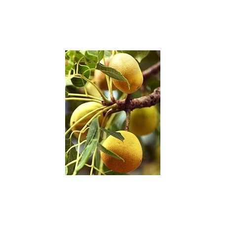 Marula ciruela africana