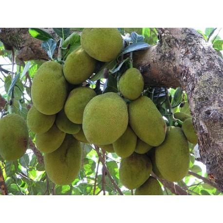 Jackfruit la mayor fruta del mundo