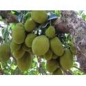 Jackfruit , Artocarpus Heterophyllus