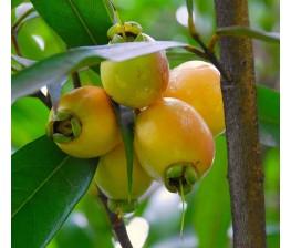 Aroma a rosas en un fruto comestible