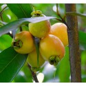 Pomarrosa , Syzygium jambos