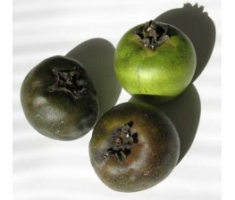 Sapote negro , Diospyros digyna