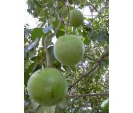 Sapote blanco ,Casimiroa edulis c.v. Mc Dill