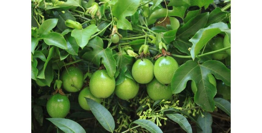 Trepadeiras E Arbustos Www Frutalestropicales Com